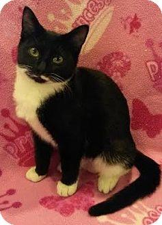 Domestic Shorthair Kitten for adoption in Attalla, Alabama - Bentlie