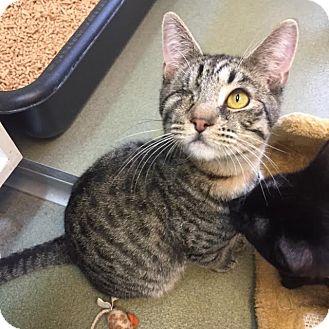 Domestic Shorthair Kitten for adoption in Westminster, California - Griffin