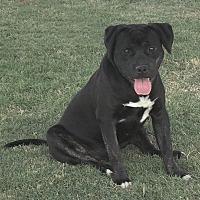 Labrador Retriever/Boxer Mix Dog for adoption in Lompoc, California - Lincoln
