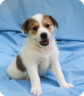 "Anatolian Shepherd/Australian Cattle Dog Mix Puppy for adoption in Columbia, Illinois - Kenzie ""B"""