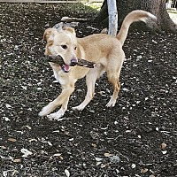 Labrador Retriever/Australian Cattle Dog Mix Puppy for adoption in San Antonio, Texas - Duke