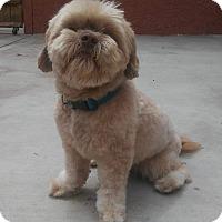 Adopt A Pet :: Chewie-ADOPT Me! - Redondo Beach, CA