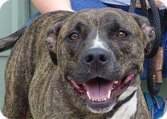 American Pit Bull Terrier Mix Dog for adoption in Martinsville, Indiana - Dallas