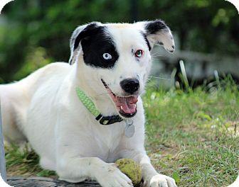 Border Collie Mix Dog for adoption in Millersville, Maryland - Juliet