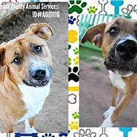 Adopt A Pet :: A081116 - Grovetown, GA