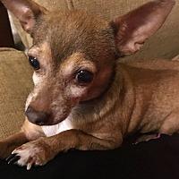 Adopt A Pet :: Ginger - West Columbia, SC