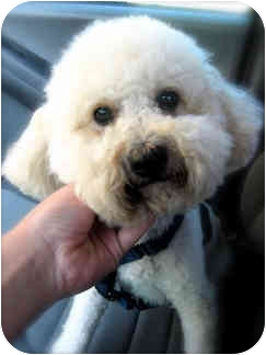 Bichon Frise Mix Dog for adoption in La Costa, California - George