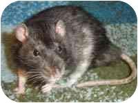 Rat for adoption in Winner, South Dakota - Morty