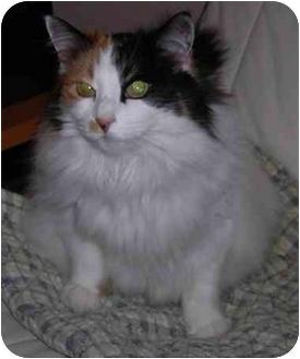 Domestic Longhair Cat for adoption in Toronto, Ontario - Zara