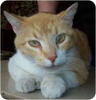 Hemingway/Polydactyl Cat for adoption in North Judson, Indiana - Ernie