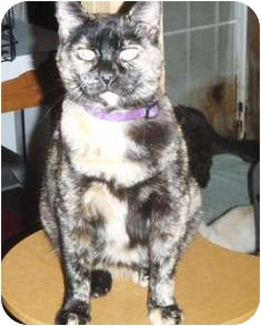 Domestic Shorthair Cat for adoption in Pasadena, California - Giselle