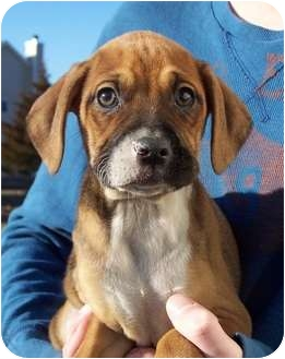 Boxer Mix Puppy for adoption in Milford, New Jersey - Kacie