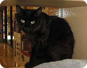 Domestic Mediumhair Cat for adoption in North Haven, Connecticut - Joelle