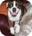 English Bulldog Dog for adoption in Port Orange, Florida - Tank