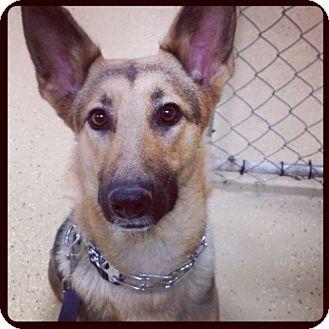 German Shepherd Dog Dog for adoption in Spring City, Pennsylvania - Roxy