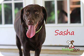 Labrador Retriever Mix Dog for adoption in Alpharetta, Georgia - Sasha