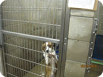 Sheltie, Shetland Sheepdog/Australian Terrier Mix Dog for adoption in Collinsville, Oklahoma - Crystal