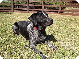 Bluetick Coonhound Mix Dog for adoption in Nashville, Tennessee - Rosco