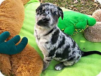 Australian Shepherd/Catahoula Leopard Dog Mix Puppy for adoption in Middletown, Connecticut - Taloula