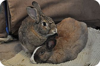 Chinchilla, American Mix for adoption in Los Angeles, California - Misty
