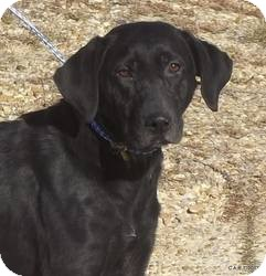 Labrador Retriever Dog for adoption in Largo, Florida - Mistletoe