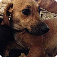 Adopt A Pet :: Primrose - Hagerstown, MD
