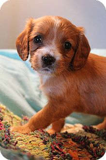 Cocker Spaniel/Labrador Retriever Mix Puppy for adoption in Southington, Connecticut - Sonoma