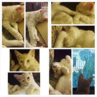 American Shorthair Cat for adoption in San Dimas, California - Cookie