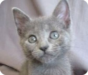 Domestic Shorthair Kitten for adoption in Oakland, California - Tito