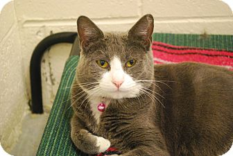 Domestic Shorthair Cat for adoption in Twin Falls, Idaho - Snuggles
