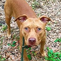 American Pit Bull Terrier Mix Dog for adoption in Saint Augustine, Florida - Sunny
