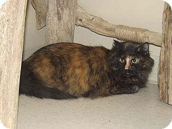 Maine Coon Cat for adoption in Cannelton, Indiana - Maggie