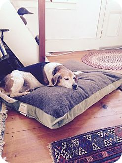 Beagle Dog for adoption in Freeport, Maine - Louie (In Foster)