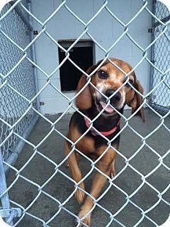 Beagle Mix Dog for adoption in Minneapolis, Minnesota - Smiling Sam