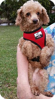 Poodle (Standard) Dog for adoption in Naples, Florida - Willy