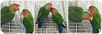 Lovebird for adoption in Forked River, New Jersey - Bobbi & Ziggy