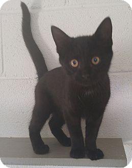 Domestic Mediumhair Kitten for adoption in Bryson City, North Carolina - Poe