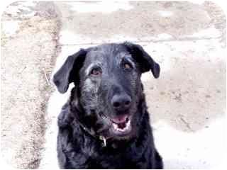 Irish Wolfhound/Labrador Retriever Mix Dog for adoption in Roundup, Montana - Mikey