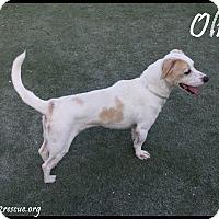 Adopt A Pet :: Oliver - Rockwall, TX
