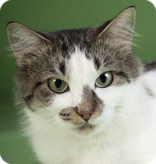 Domestic Mediumhair Cat for adoption in Chicago, Illinois - Petunia