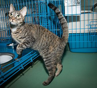 Domestic Shorthair Cat for adoption in New York, New York - Snickerdoodle