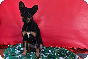 Chihuahua Mix Dog for adoption in North Judson, Indiana - Blackie