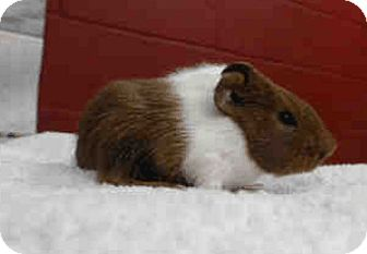 Guinea Pig for adoption in Fullerton, California - *Urgent* Sonny