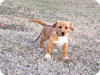 Dachshund/Terrier (Unknown Type, Medium) Mix Puppy for adoption in Hartford, Connecticut - JULEP