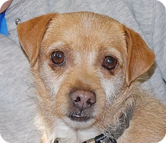 Chihuahua/Terrier (Unknown Type, Small) Mix Dog for adoption in Spokane, Washington - Shawna