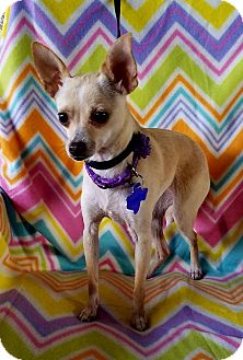 Chihuahua Mix Dog for adoption in Pittsburgh, Pennsylvania - Bamby
