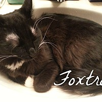 "Domestic Mediumhair Cat for adoption in Tucson, Arizona - Foxtrot - he's ""all boy"""