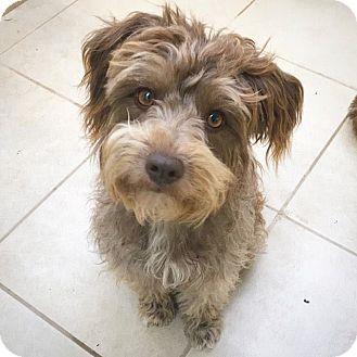 Poodle (Miniature) Mix Dog for adoption in Eugene, Oregon - April
