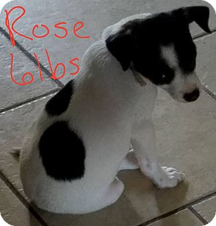 Jack Russell Terrier Mix Puppy for adoption in Lorain, Ohio - Rose