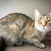 Domestic Shorthair/Domestic Shorthair Mix Cat for adoption in Fredericksburg, Texas - Cassie
